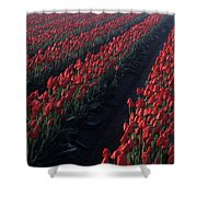 Rows Of Red Tulips Shower Curtain