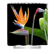 Royal Beauty II - Bird Of Paradise Shower Curtain by Ben and Raisa Gertsberg