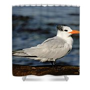 Royal Tern Shower Curtain