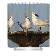 Royal Tern Trio Displaying Dominican Shower Curtain