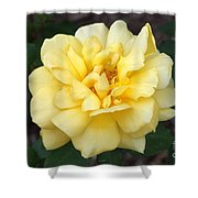Royal Yellow Delight Rose... Shower Curtain