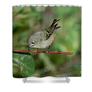 Ruby-crowned Kinglet Showing Crown Shower Curtain