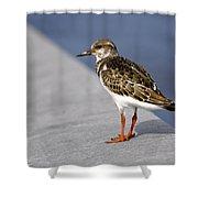 Ruddy Turnstone Bird Arenaria Interpres Florida Usa Shower Curtain