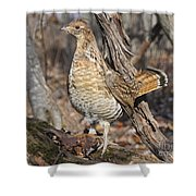 Ruffed Grouse On Mossy Log Shower Curtain