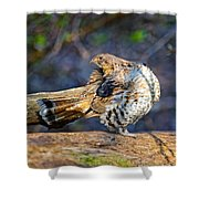 Ruffed Grouse Preening Shower Curtain