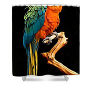 Ruffled But Still Handsome Shower Curtain