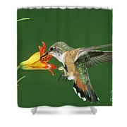 Rufous Hummingbird At Tiger Lily Shower Curtain