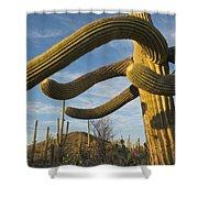 Saguaro Cacti Saguaro Np Arizona Shower Curtain