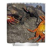 Sally Lightfoot Crabs And Marine Shower Curtain