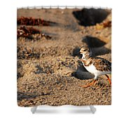 Sanderling 005 Shower Curtain