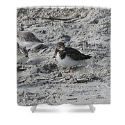 Sanderlings And A Ruddy Shower Curtain