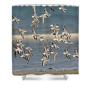Sanderlings And Dunlins In Flight Shower Curtain