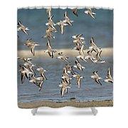 Sanderlings And Dunlins In Flight Shower Curtain