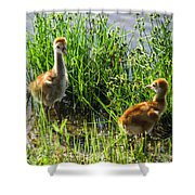 Sandhill Crane Chicks  Shower Curtain