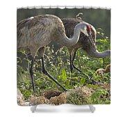 Sandhill Crane Family Shower Curtain