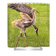 Sandhill Cranes Walking Around Shower Curtain