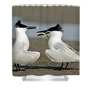 Sandwich Tern Offering Fish Shower Curtain