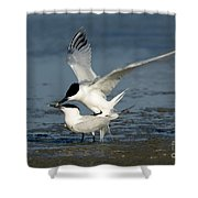Sandwich Terns Mating Shower Curtain