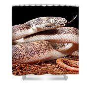 Savu Python In Defensive Posture Shower Curtain