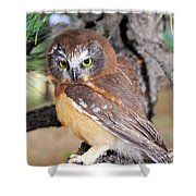 Saw-whet Owl In Conifers Shower Curtain
