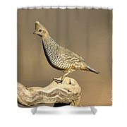 Scaled Quail Callipepla Squamata Shower Curtain