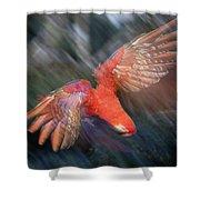 Scarlet Macaw Flying Amazon Basin Peru Shower Curtain