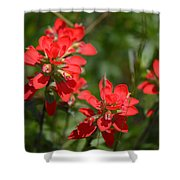 Scarlet Paintbrush. Texas Wildflowers. Castilleja_indivisa Shower Curtain