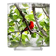 Scarlet Tanager - 11 Shower Curtain
