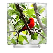 Scarlet Tanager - 19 Shower Curtain