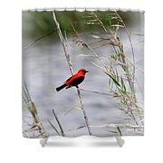 Scarlet Tanager - Coastal - Migration Shower Curtain