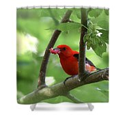 Scarlet Tanager - Fallout Shower Curtain