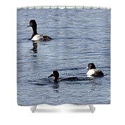 Scaup Ducks In The Spring Shower Curtain