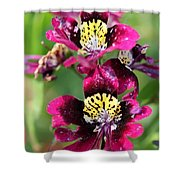 Schizanthus From The Hit Parade Mix Shower Curtain