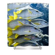 Schoolmaster Snappers Shower Curtain