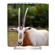 Scimitar Horned Oryx 2 Shower Curtain