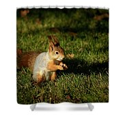 Sciurus Vulgaris In Evening Light Shower Curtain