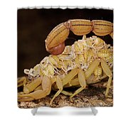 Scorpion Mother Carrying Her Brood Shower Curtain