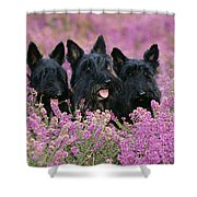 Scottish Terrier Dogs Shower Curtain
