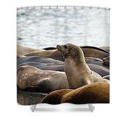 Sea Lions Sunning On Barge At Pier 39 San Francisco Shower Curtain