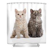 Selkirk Rex Kittens Shower Curtain