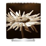Shasta Daisy Flower Sepia Shower Curtain