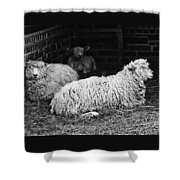 Sheep 2 Shower Curtain