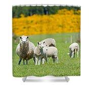 Sheep Grazing Shower Curtain