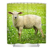 Sheep In Summer Meadow Shower Curtain by Elena Elisseeva