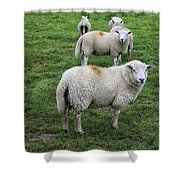 Sheep On Parade Shower Curtain