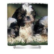 Shih Tzu Puppy Dogs Shower Curtain