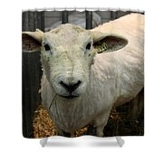 Shorn Sheep Shower Curtain