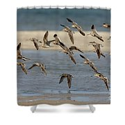 Short-billed Dowitchers Flying Shower Curtain