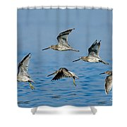 Short-billed Dowitchers In Flight Shower Curtain