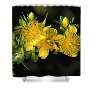 Shrubby St Johnswort Dsmf094 Shower Curtain
